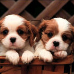 Charles Spaniel Dogs hd Wallpapers