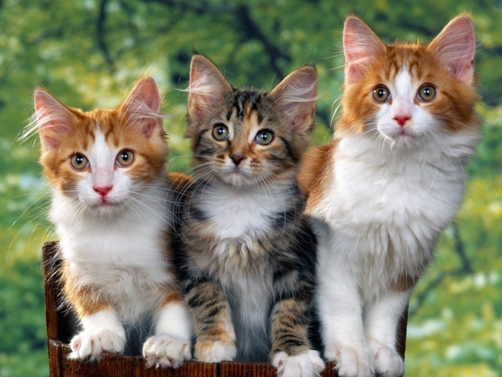 desktop cat wallpapers free download hd wallpapers